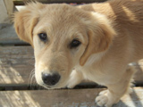 lab-retriever