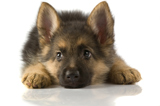shepherd pup playing